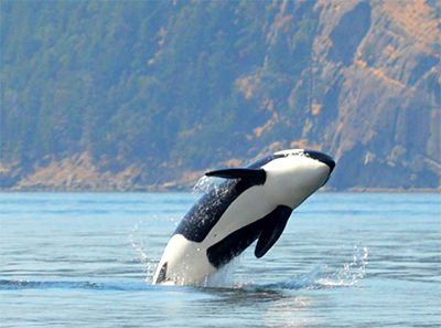 Orca leaping out of the water