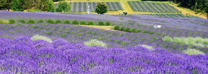 San Juan Island Lavender Fields