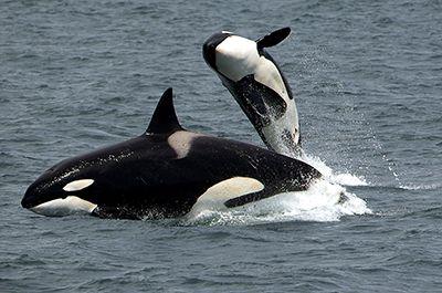 Orcas breaching near San Juan Island