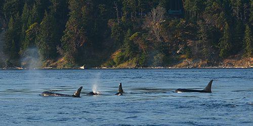 Orca pod by San Juan Island
