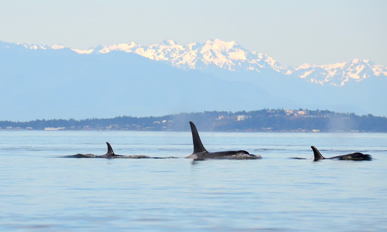 1280 Orcas with Olympics back