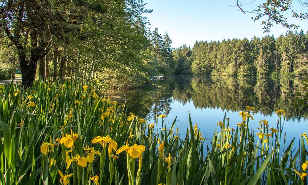 1280 spring irises at lake