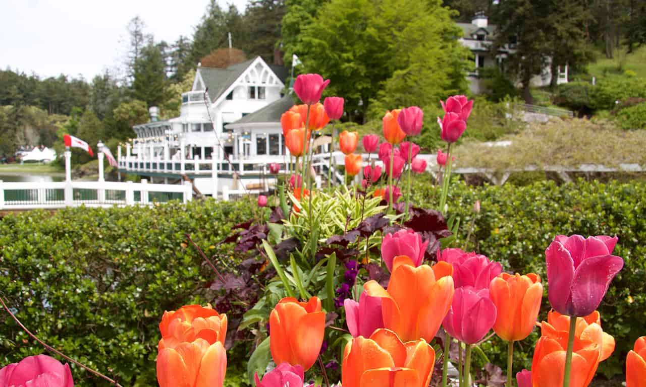 1280 tulips at Roche Harbor