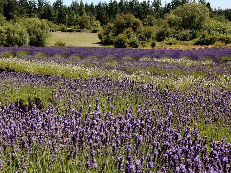 lavender fields on San Juan Island