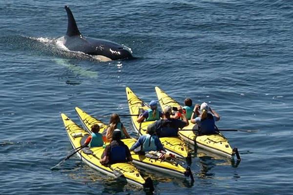 kayakers with orca in San Juan Islands