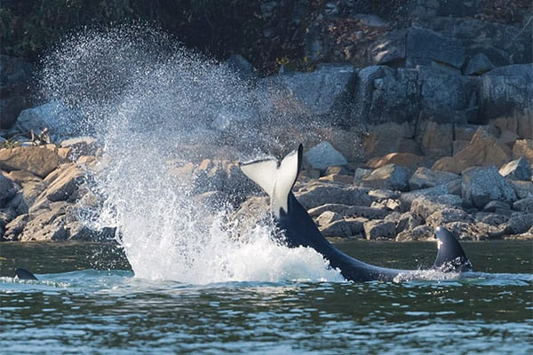 orca breaching in San Juan Islands
