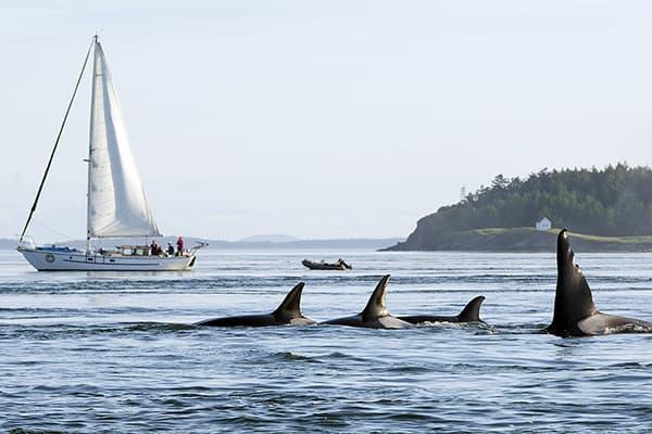 Sailboat Peniel with orcas in San Juan Islands