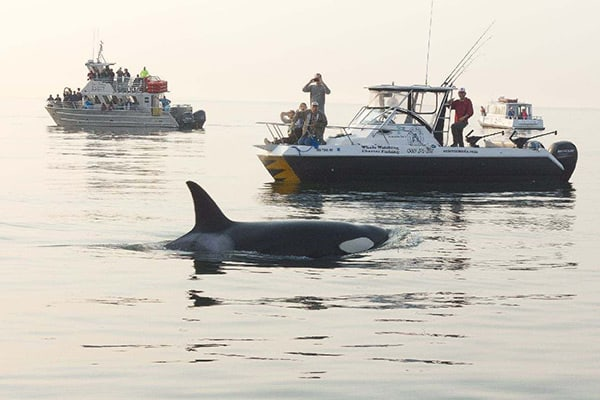 Outer Island Excursions with orca in San Juan Islands